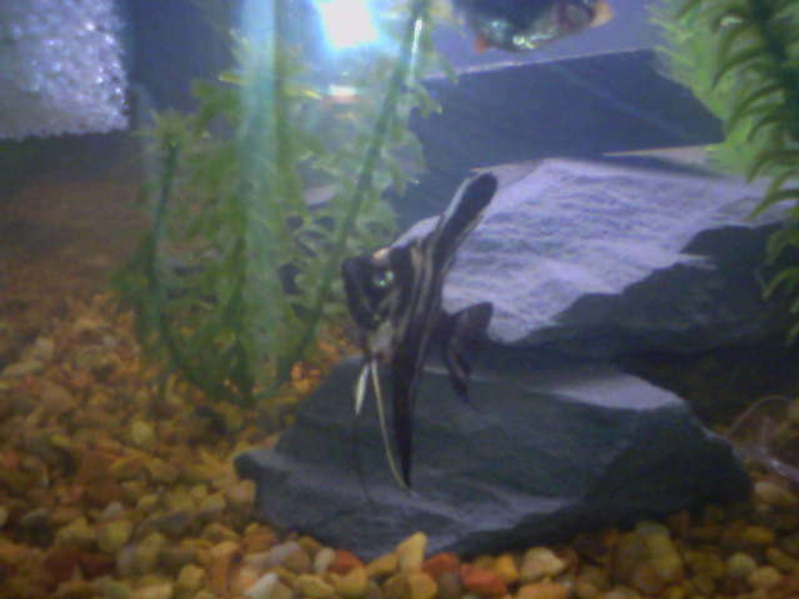 freshwater fish - pterophyllum scalare - half black angelfish stocking in 20 gallons tank - billy