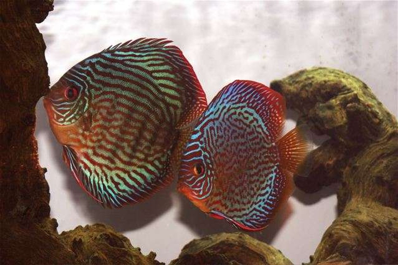 freshwater fish - symphysodon spp. - snakeskin discus stocking in 75 gallons tank - Discus Pair-Waiting for Eggs to Hatch