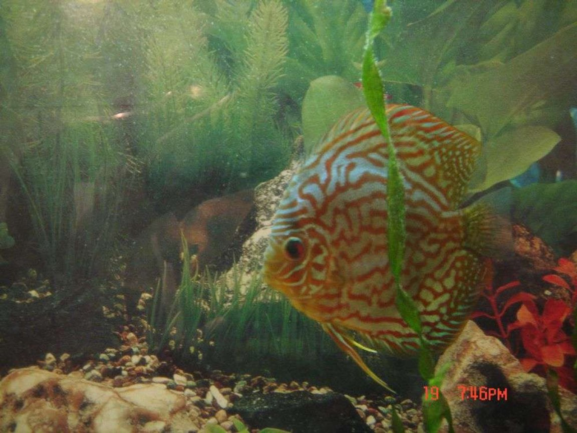freshwater fish - symphysodon spp. - pigeon blood discus stocking in 50 gallons tank - leopard discus
