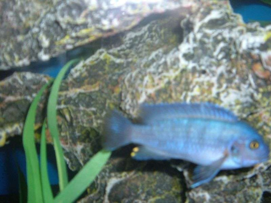 freshwater fish - maylandia callainos - blue cobalt cichlid stocking in 55 gallons tank - Cichlid