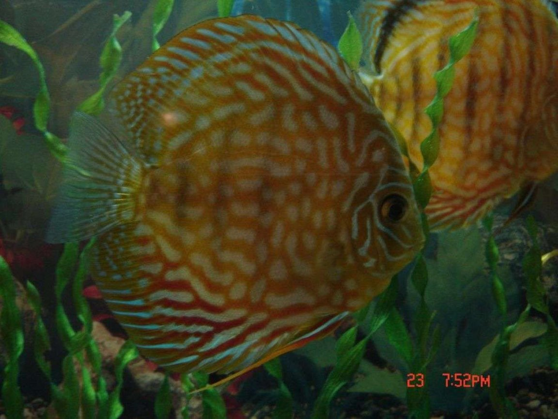 freshwater fish - symphysodon spp. - pigeon blood discus stocking in 50 gallons tank - this is a 16 month old discus,she is very skittish
