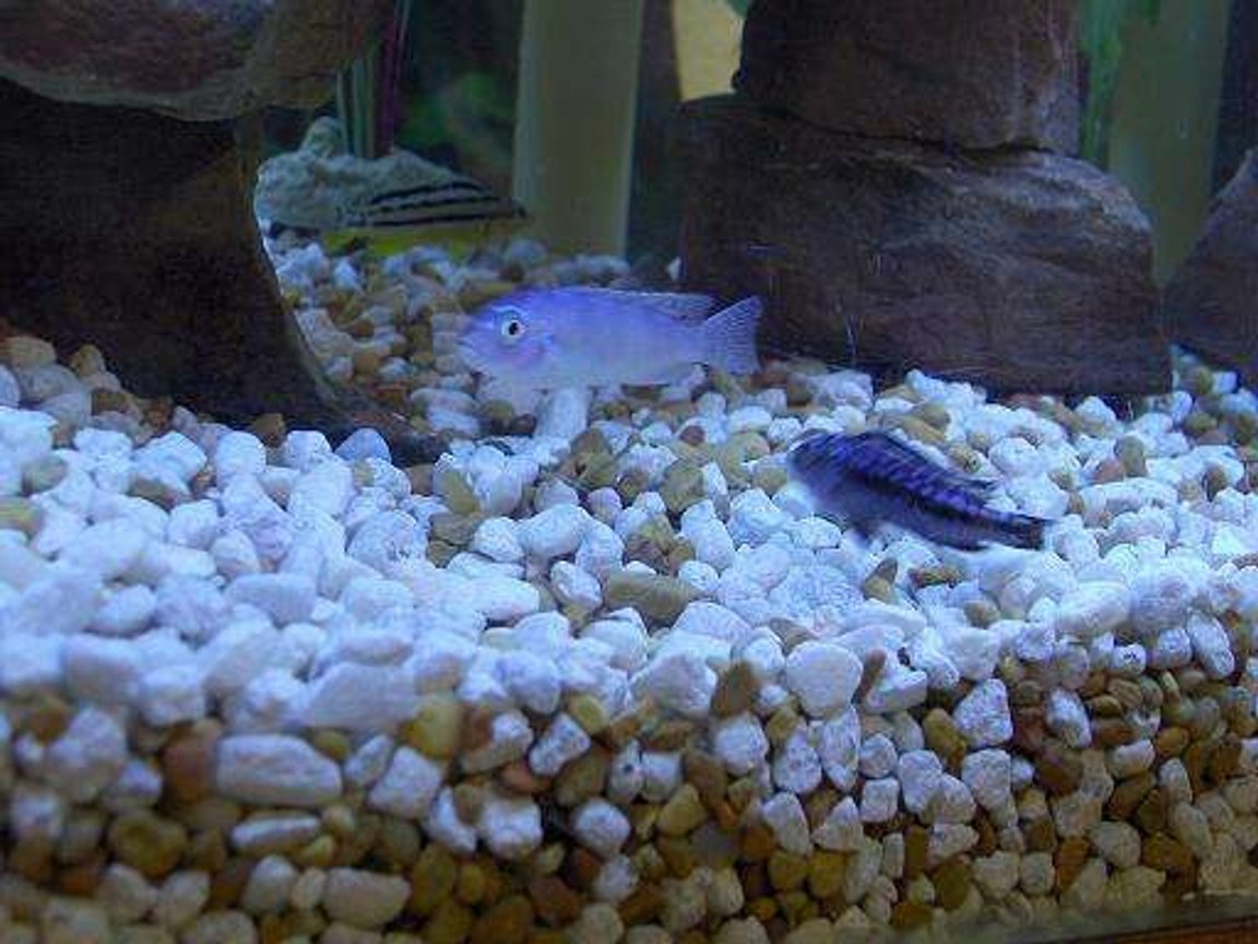 freshwater fish - melanochromis auratus - auratus cichlid stocking in 45 gallons tank - 3 of my cichlids