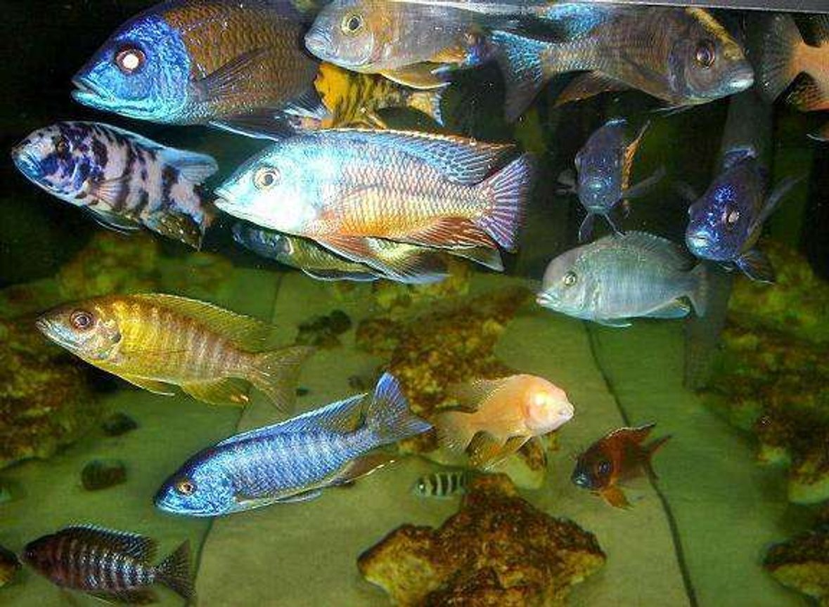 freshwater fish - sciaenochromis ahli - electric blue cichlid stocking in 20 gallons tank - I love my fish, they also love me back!