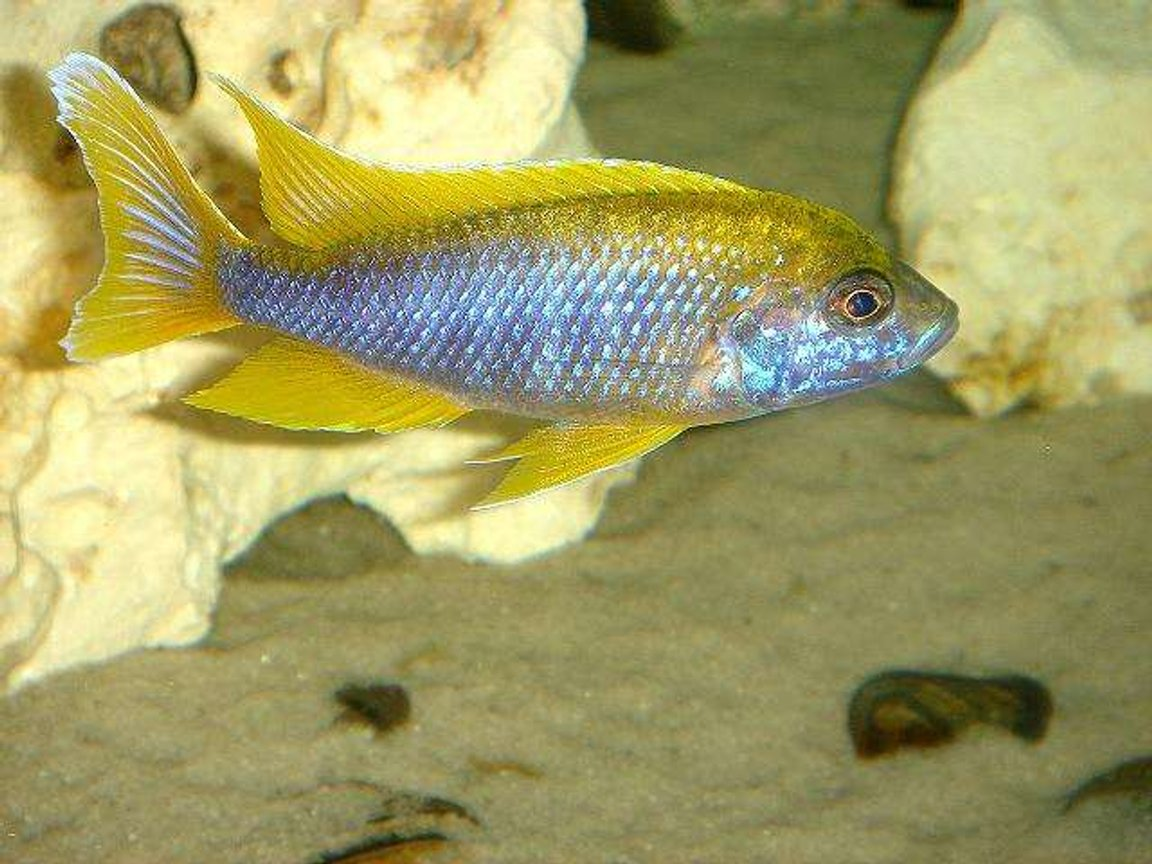 freshwater fish - aulonocara mamelela - lemon jake stocking in 20 gallons tank - Lemon Jake