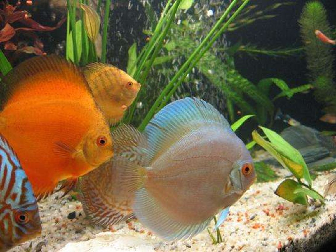 freshwater fish - symphysodon sp. - snow white discus stocking in 190 gallons tank - discus 5