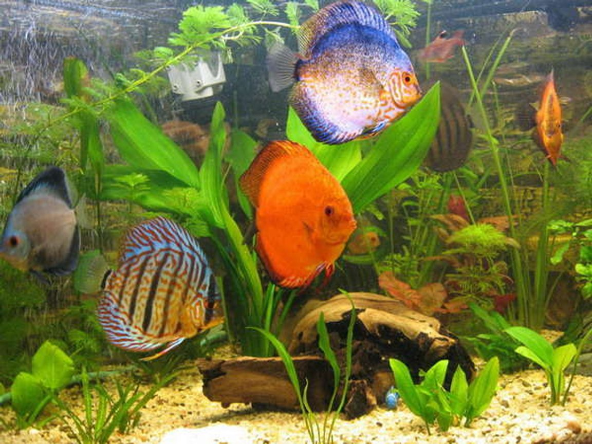 freshwater fish - symphysodon sp. - royal red discus stocking in 190 gallons tank - discus 9