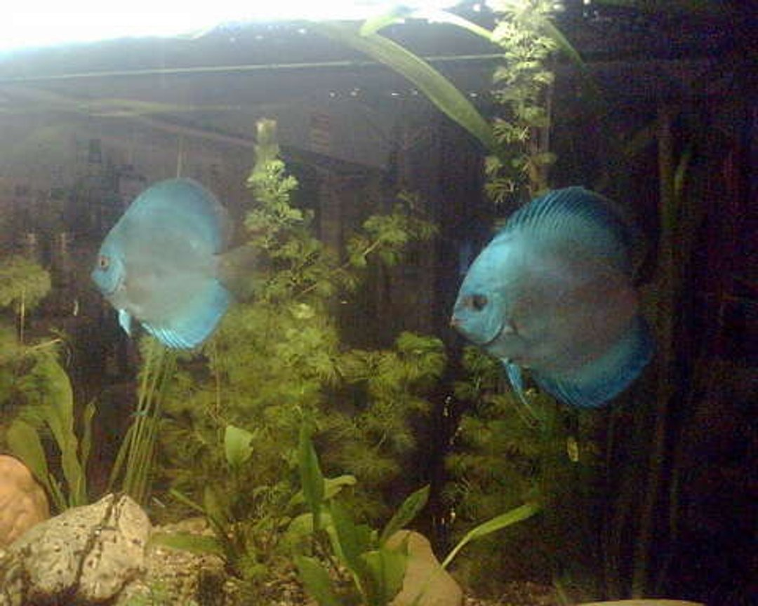 freshwater fish - symphysodon sp. - blue diamond discus stocking in 120 gallons tank - Check this out.A Blu Diamond Pair