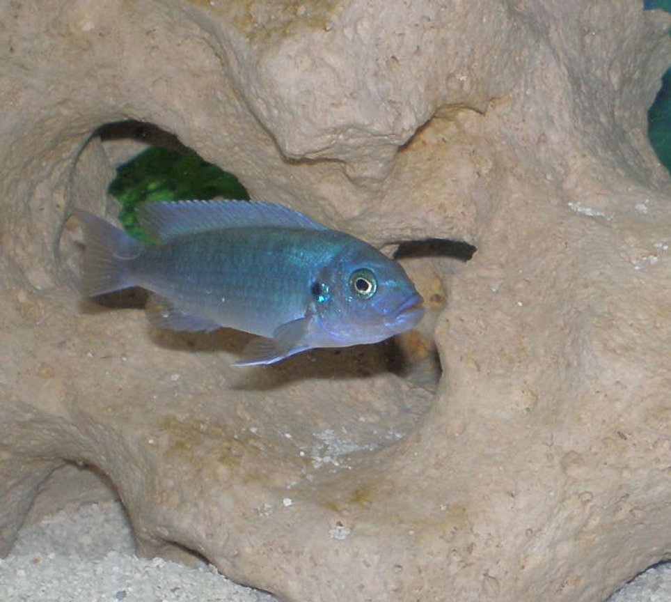 freshwater fish - metriaclima callainos - cobalt blue zebra cichlid stocking in 30 gallons tank - African Cichild