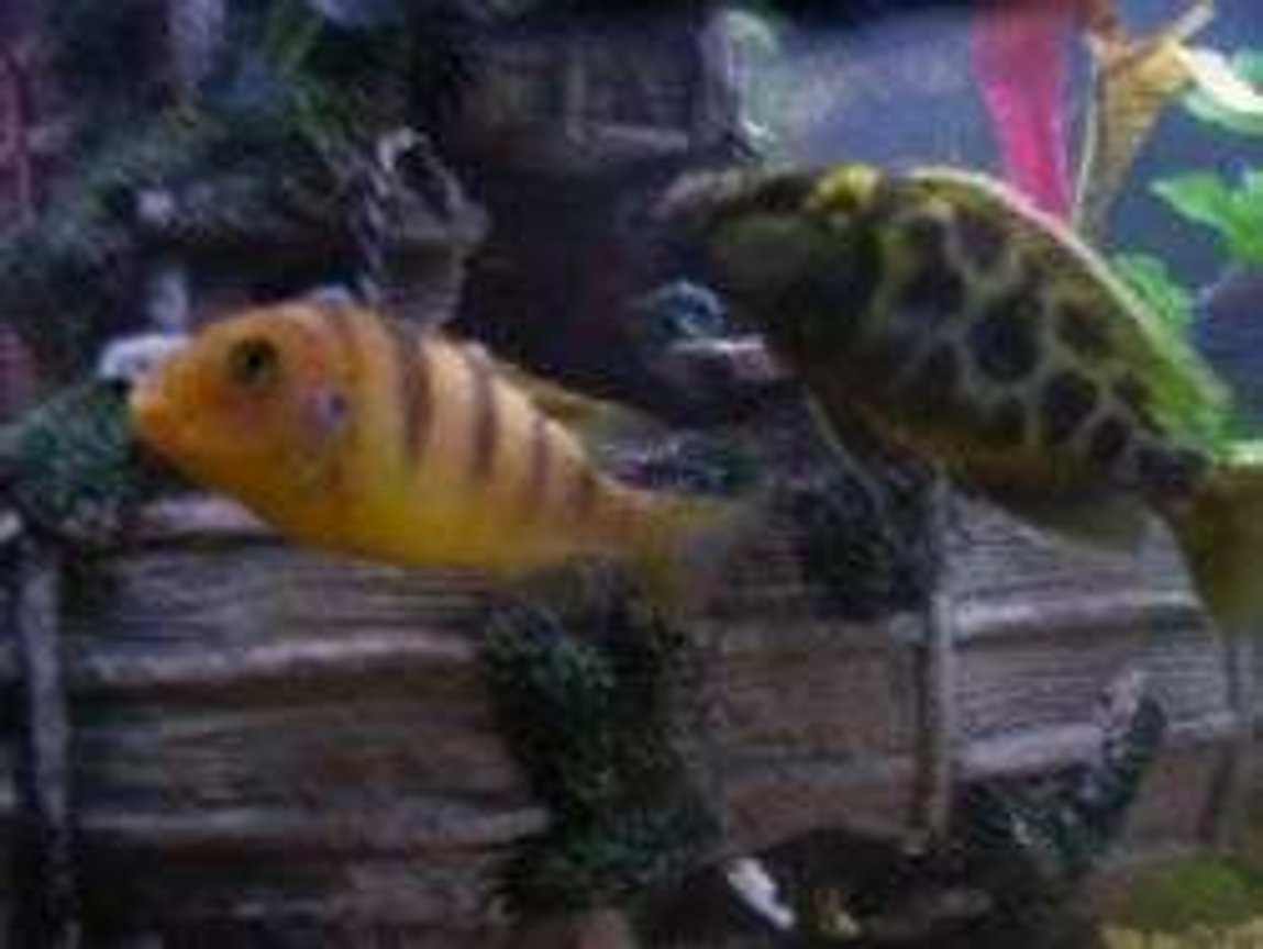 freshwater fish - metriaclima lombardoi - kenyi cichlid stocking in 55 gallons tank - a few of my cichlids