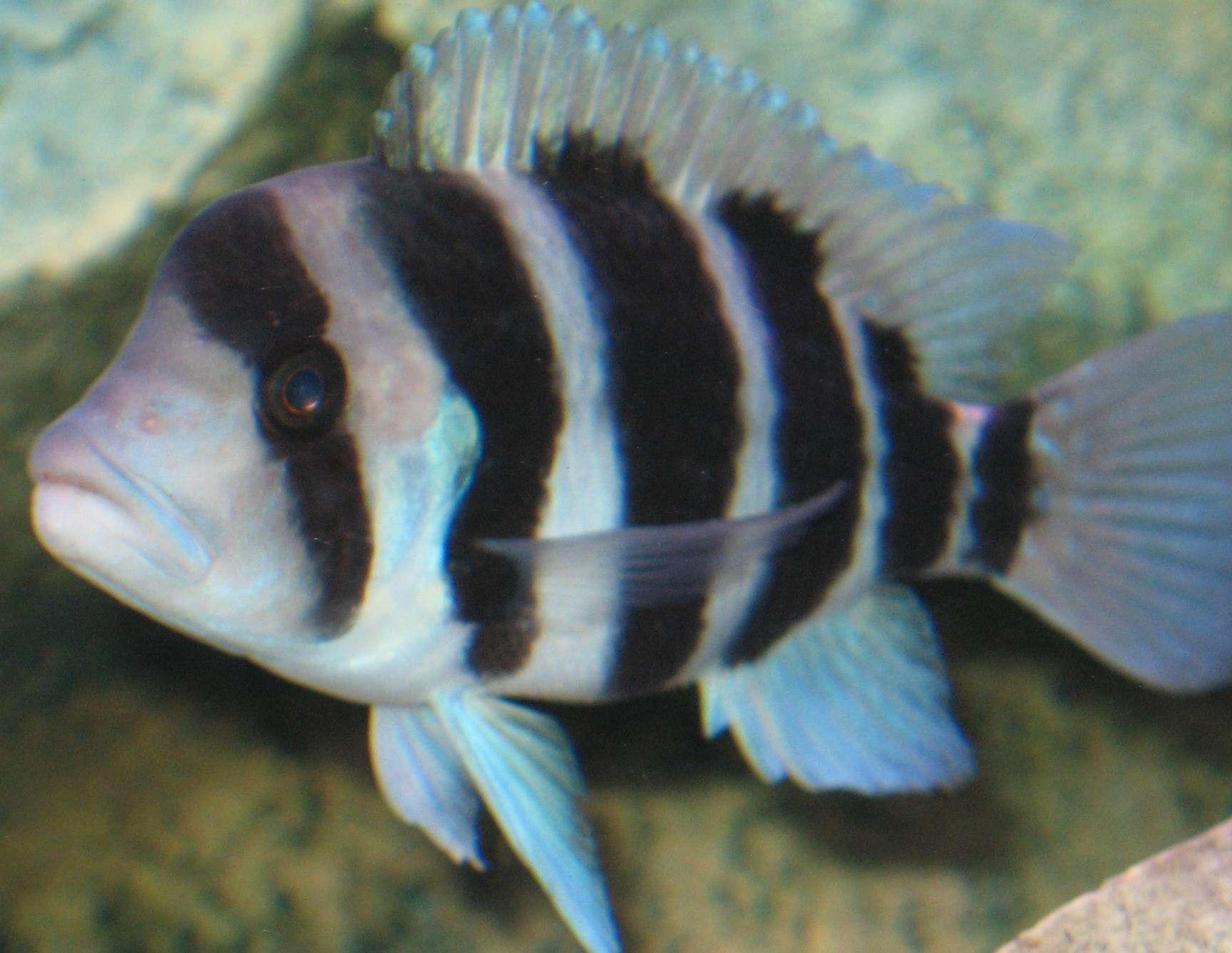 Jesterspub 39 s freshwater fish photo id 11563 full for Good beginner fish