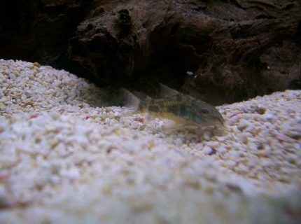 freshwater fish - corydoras paleatus - peppered cory cat stocking in 32 gallons tank - One of my Peppered Corydoras
