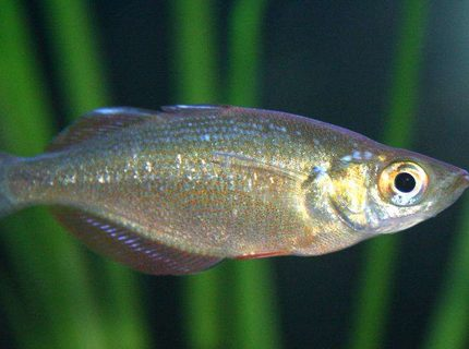 freshwater fish - melanotaenia praecox - dwarf rainbow fish stocking in 80 gallons tank - Dwarf Rainbow Fish