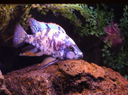freshwater fish - dimidiochromis compressiceps - compressiceps cichlid stocking in 125 gallons tank - ob dimidichromis comp