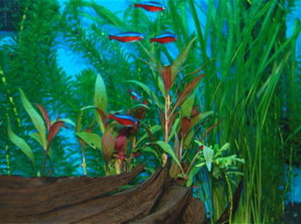 freshwater fish - paracheirodon axelrodi - cardinal tetra stocking in 55 gallons tank - These are my Cardinal Tetras.