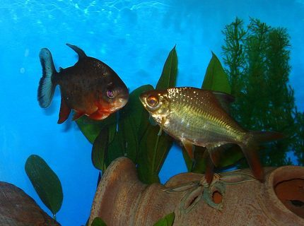 freshwater fish - piaractus brachypomum - red belly pacu stocking in 75 gallons tank - RED BELLY PACU & TINFOIL BARB