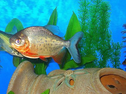 "freshwater fish - piaractus brachypomum - red belly pacu stocking in 75 gallons tank - RED BELLY PACU...HE LIKES TO EAT PEANUTS & IS ABOUT 5"" LONG. HE IS SPOTTED LIKE A TROUT!"