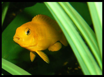 freshwater fish - pseudotropheus estherae - red zebra cichlid stocking in 50 gallons tank - baby cichlid hiding
