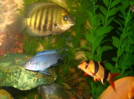 freshwater fish - botia macracantha - clown loach stocking in 50 gallons tank - Clown loach in the company of Severum, Red zebra, blue pindani and golden severum