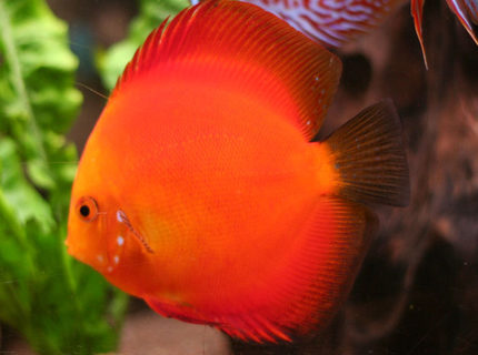 Rated #2: Freshwater Fish - Golden Melon Discus Stocking In 127 Gallons Tank - Discus, Golden Melon