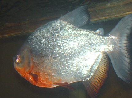 freshwater fish - piaractus brachypomum - red belly pacu stocking in 125 gallons tank - pacu loves his peanuts and corn