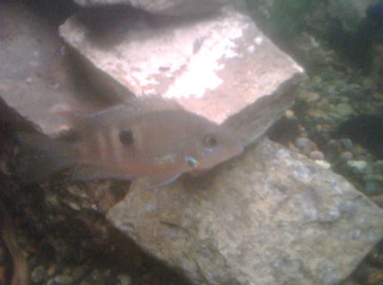 freshwater fish - thorichthys meeki - firemouth cichlid stocking in 65 gallons tank - This is the smallest cichlid of the tank, the firemouth cichlid.  This picture does him or her no justice, you cant even see the bright red on the gils, bout 2 1/2 inches, bout 7 months old. A few months younger than the other cichlids.