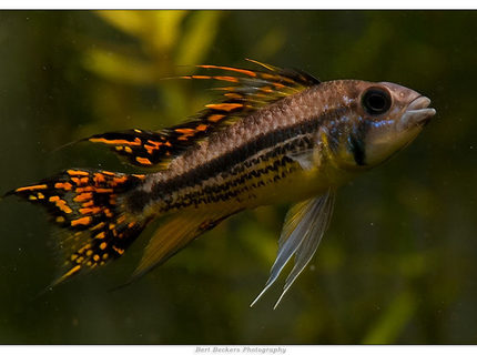 Rated #4: Freshwater Fish - Apistogramma Cacatuoides - Double Full Red Cockatoo Cichlid Stocking In 50 Gallons Tank - Apistogramma Cacatuoides Double Red