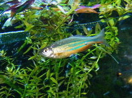 freshwater fish - danio rerio - zebra danio stocking in 55 gallons tank - male giant danio