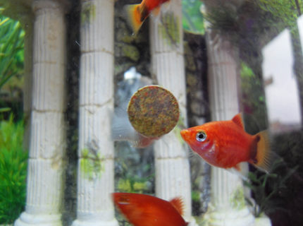 freshwater fish - xiphophorus maculatus - red wag platy - Platy eating tablet