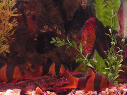 freshwater fish - botia macracantha - clown loach stocking in 150 gallons tank - loaches