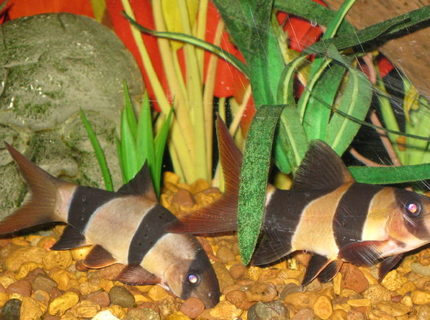 freshwater fish - botia macracantha - clown loach stocking in 65 gallons tank - Pair of Clown Loaches on patrol
