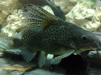 freshwater fish - synodontis eupterus - synodontis eupterus catfish stocking in 57 gallons tank - This is Scatz my Synodontis