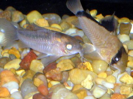 freshwater fish - corydoras panda - panda cory cat stocking in 30 gallons tank - kori catfish
