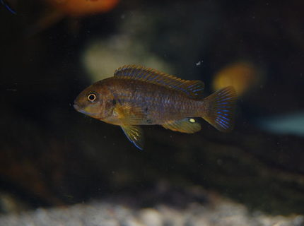 freshwater fish - iodotropheus sprengerae - rusty cichlid stocking in 110 gallons tank - rusty