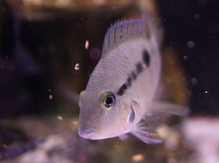 freshwater fish - thorichthys meeki - firemouth cichlid stocking in 45 gallons tank - Firemouth Cichlid, just chillin'