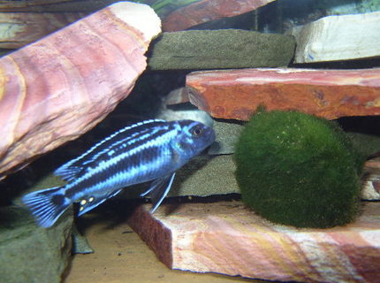 freshwater fish - melanochromis cyaneorhabdos - maingano cichlid stocking in 46 gallons tank - Electric Blue