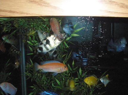 freshwater fish - labidochromis caeruleus - electric yellow cichlid stocking in 160 gallons tank - dinner time
