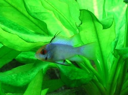 freshwater fish - papiliochromis ramirezi - electric blue ram stocking in 40 gallons tank - Electric Blue Ram