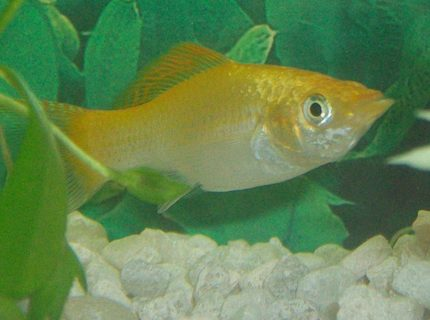 freshwater fish - poecilia latipinna - golden sailfin molly stocking in 10 gallons tank - My daughter's favorite fish as well as mine!!! lol  UPDATE!!!!!!!!!! was found dead this morning on 8/16/2009 R.I.P. Mustard
