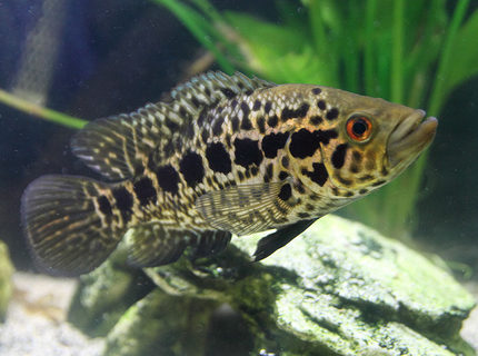 freshwater fish - parachromis managuensis - jaguar cichlid stocking in 45 gallons tank - Jaguar Cichlid almost 7 inches long now