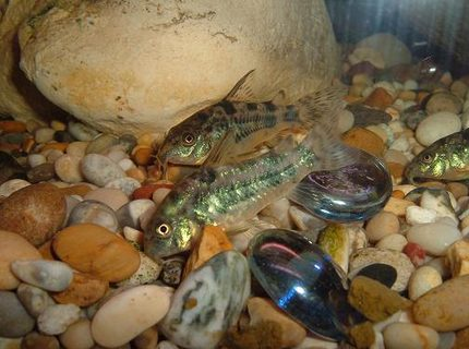 freshwater fish - corydoras paleatus - peppered cory cat stocking in 100 gallons tank - 2 peppered corys
