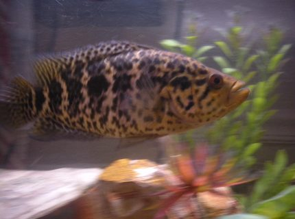 freshwater fish - parachromis managuensis - jaguar cichlid stocking in 55 gallons tank - Jaguar in rule of the roost.