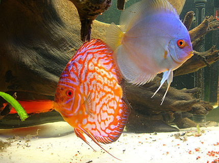 Rated #4: Freshwater Fish - Symphysodon Sp. - Blue Diamond Discus Stocking In 55 Gallons Tank - the king and queen of my tank.