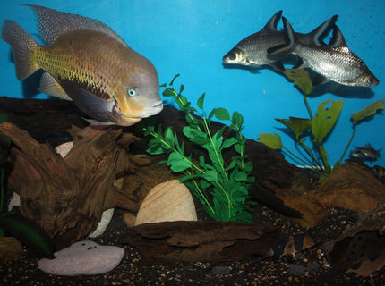 freshwater fish - balantiocheilus melanopterus - bala shark stocking in 200 gallons tank - My bala sharks, american cichlid, clown loaches, syno in the log and a few barbs in the back.
