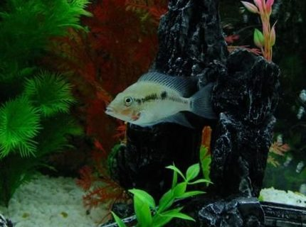 freshwater fish - thorichthys meeki - firemouth cichlid stocking in 100 gallons tank - Firemouth