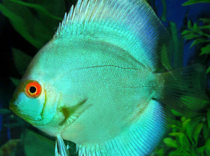 Rated #1: Freshwater Fish - Symphysodon Spp. - Neon Blue Discus Stocking In 60 Gallons Tank - my blue cobalt discus