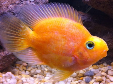 freshwater fish - heros severus x amphilophus citrinellum - blood parrot stocking in 35 gallons tank - Parrot Fish