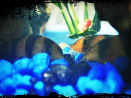 freshwater fish - botia macracantha - clown loach stocking in 10 gallons tank - They love to be together :)