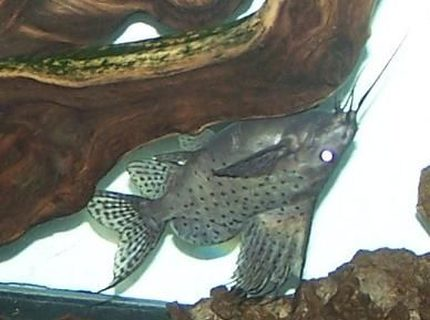 "freshwater fish - synodontis nigriventris - upside down cat stocking in 150 gallons tank - 1 of my 3 Sailfin Cats in the 150...1"" in August 2010, now 6"""