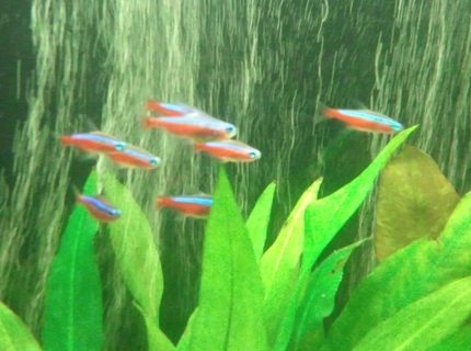 freshwater fish - paracheirodon axelrodi - cardinal tetra stocking in 66 gallons tank - My little school of Cardinal Tetras.  I love these little guys.  Since I have relocated to the Pacific Northwest I have been unable to keep Neon Tetras healthy and alive.  Honestly I don't think Neons are all that intelligent.  So for me keeping Cardinals is a piece of cake!!