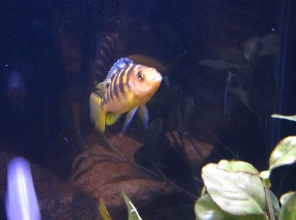 freshwater fish - pseudotropheus crabro - bumblebee cichlid stocking in 55 gallons tank - BumbleBee Cichlid